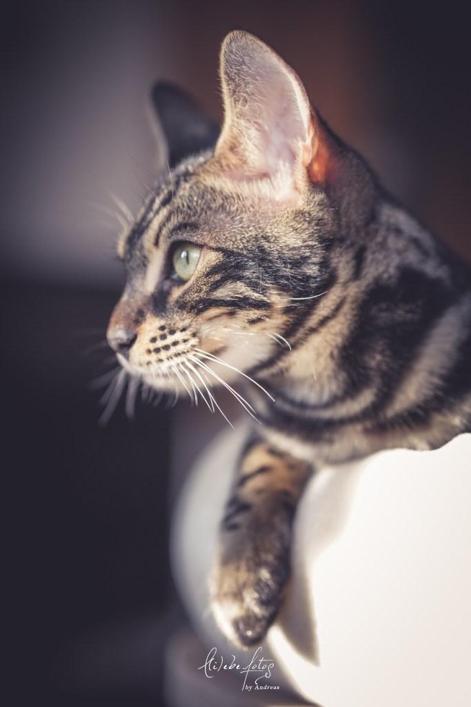 sony, a6600, cat, bengal, bengalcat, cat, snowbengal, charcoal