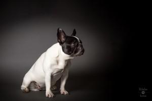 französische Bulldogge Frida