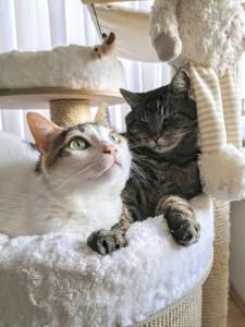 Zwei entspannte , aber aufmerksame Katzen sitzen gemeinsam auf dem Kratzbaum.