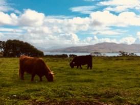 Cows auf Isle of Mull