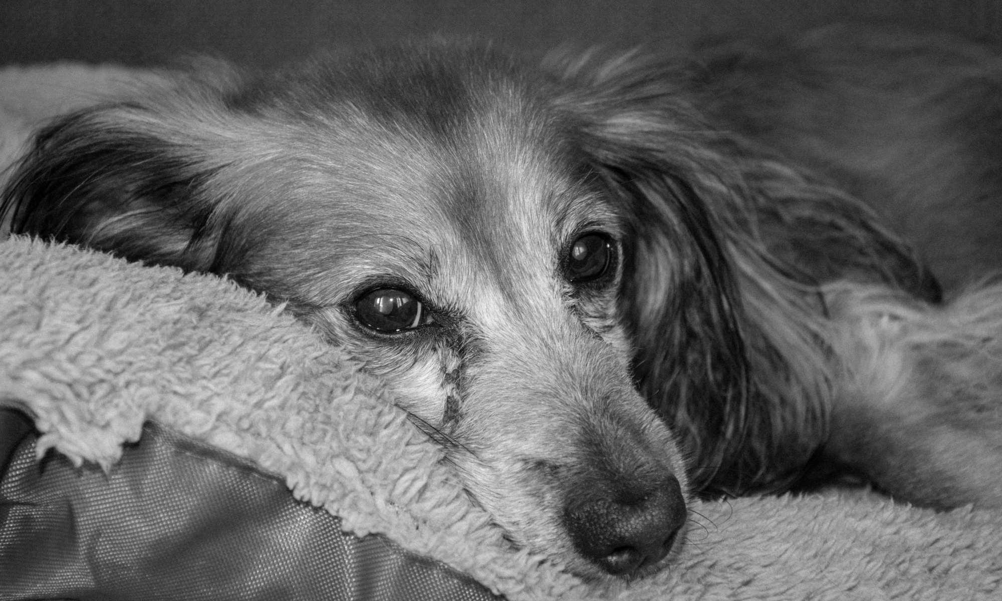Afscheid nemen van een trouwe viervoeter teckel inslapen en cremeren hond