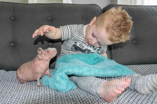 19 maanden en 1 week oud peuter dreumes - beestjes op schoot skinny cavia huisdier