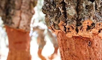 Histoire du chêne-liège : mille vertus depuis des millénaires