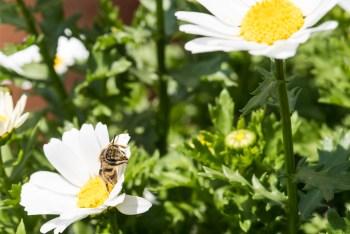 花の蜜を吸うミツバチ
