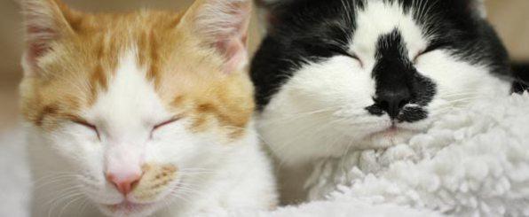 猫の去勢・避妊手術の時期と術後ケア