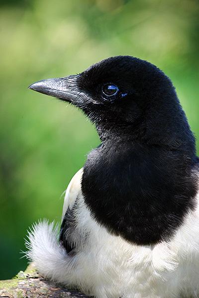 Close up van een jonge ekster