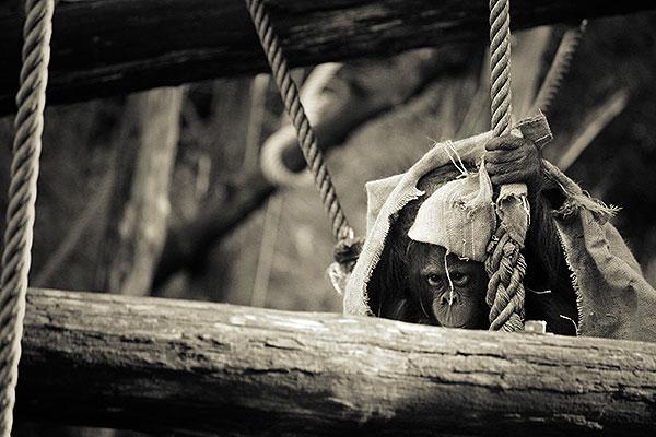 Gorilla doodgeschoten voor peuter