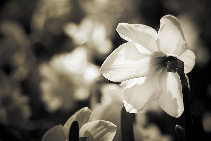 Zwart wit foto van een narcis