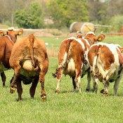 Springende koeien tijdens de koeiendans