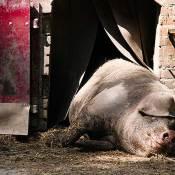 Eén van de Brabantse varkens die het wel goed heeft