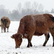 Fotoserie: Koeien in de koude