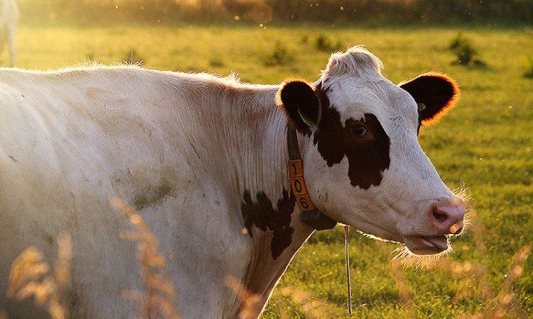 Fotoserie: Koeien in de avondzon