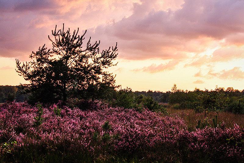 Fotoserie: Eindelijk bloeiende heide