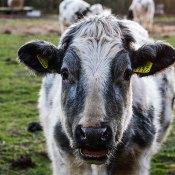 Fotoserie: De vergeten koeien