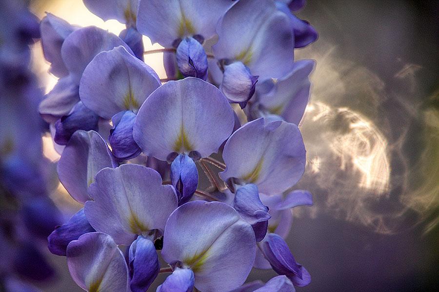 Fotoserie: Blauwe regen in de zon