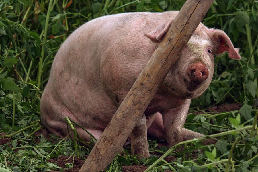Fotoserie: De varkens zijn terug