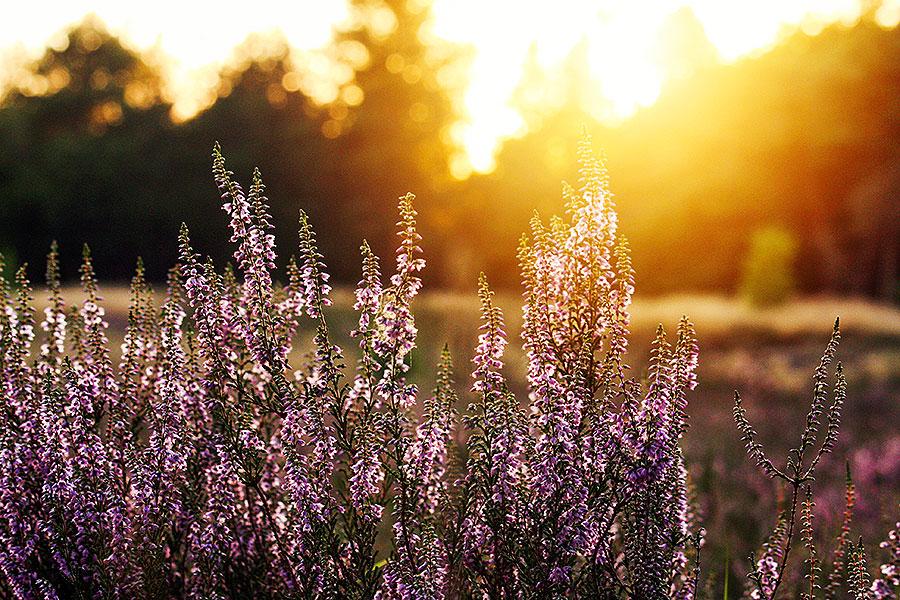 Fotoserie: De heide bloeit