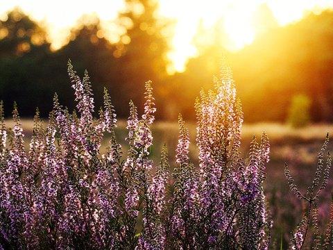 Fotoserie: De heide bloeit.