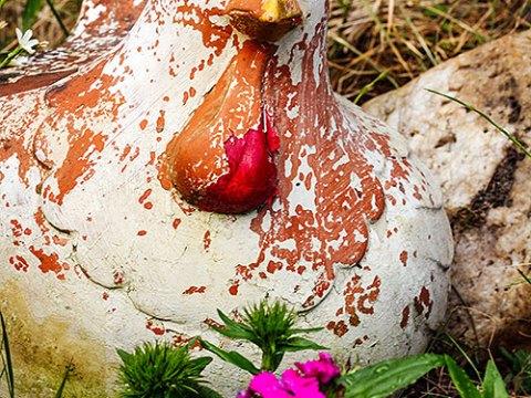 Niet meer kakelverse kippen opknappen