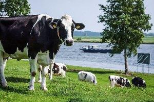 Fotoserie: Koeien van het goede leven
