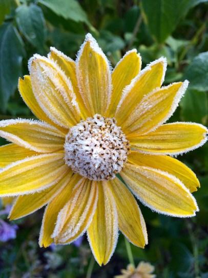 gefrorene Blüte