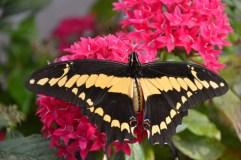 Į VDU Botanikos sodą – gėrėtis įvairiaspalviais atogrąžų drugiais