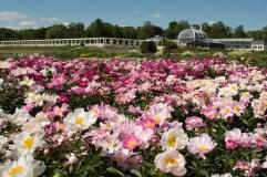 Atnaujintose VDU Botanikos sodo ekspozicijose – išskirtinės ir retos bijūnų veislės
