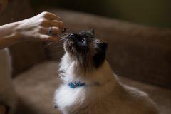 Mokslininkės – apie kokosų aliejaus naudą katėms