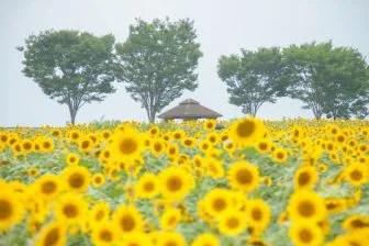 北海道 ひまわり畑の名所5選