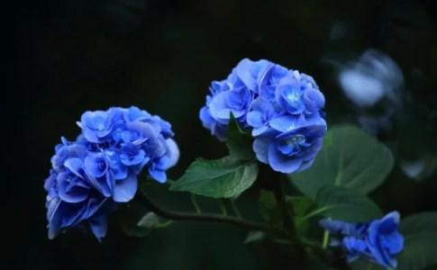 紫陽花の花言葉は怖い