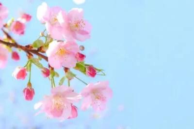 ツバメの時期 桜