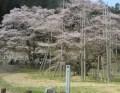 根尾谷淡墨桜 2016年の開花と見頃の予想は?満開はいつからいつまで?