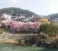 高遠桜 2016年の開花時期と見頃の予想は?満開は?ライトアップは?