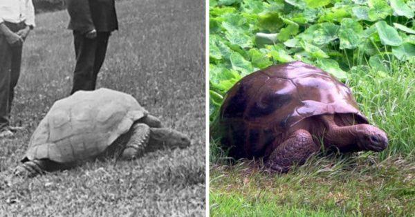 187-летняя черепаха, в 1886 году и в настоящее время.