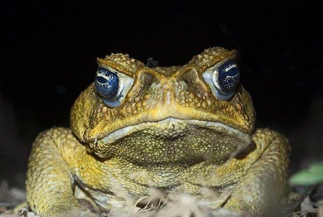 Тростниковая жаба - ядовитый монстр