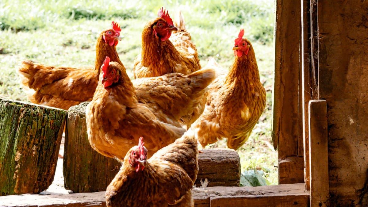 田園-三杯雞-便當