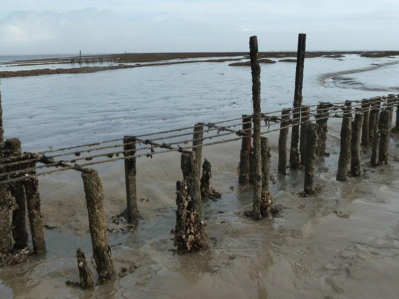 Baie de l'Aiguillon : restauration écologique d'un écosystème côtier