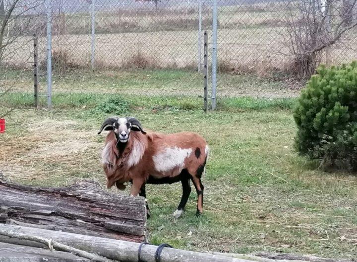 ovce kamerunska zootabor 4 e1606676283936