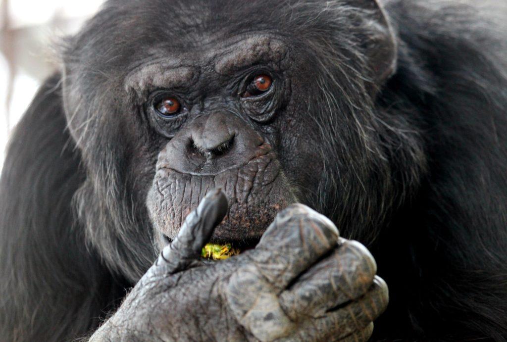 simpanz1 Zoo Brno scaled