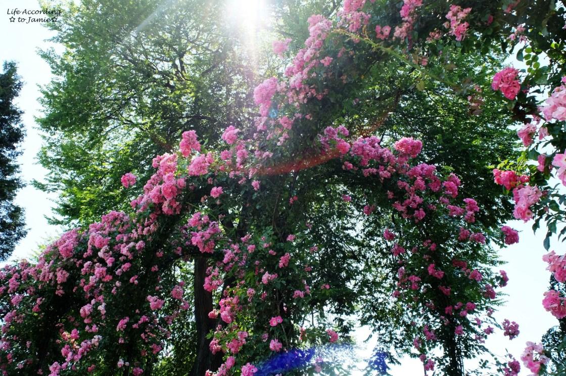 Rambler Rose Arbor