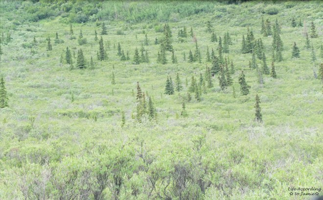 Denali National Park  - Moose Sighting