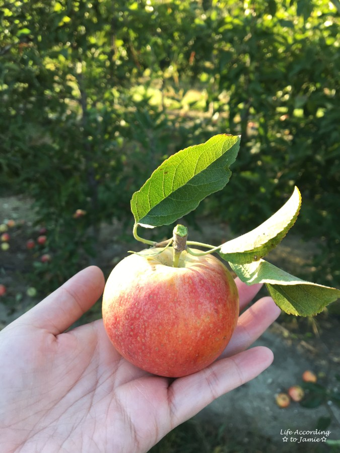 giamerese-farm-orchard-apple-picking-3