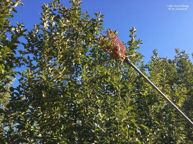 giamerese-farm-orchard-apple-picking