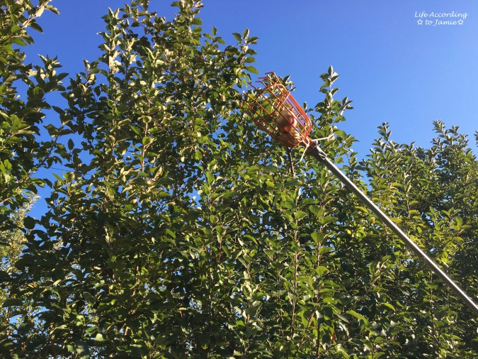 giamerese-farm-orchard-apple-picking