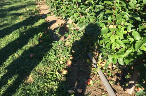 apple-orchard-shadows