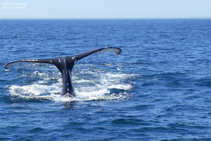 Humpback Whale - Tail 1