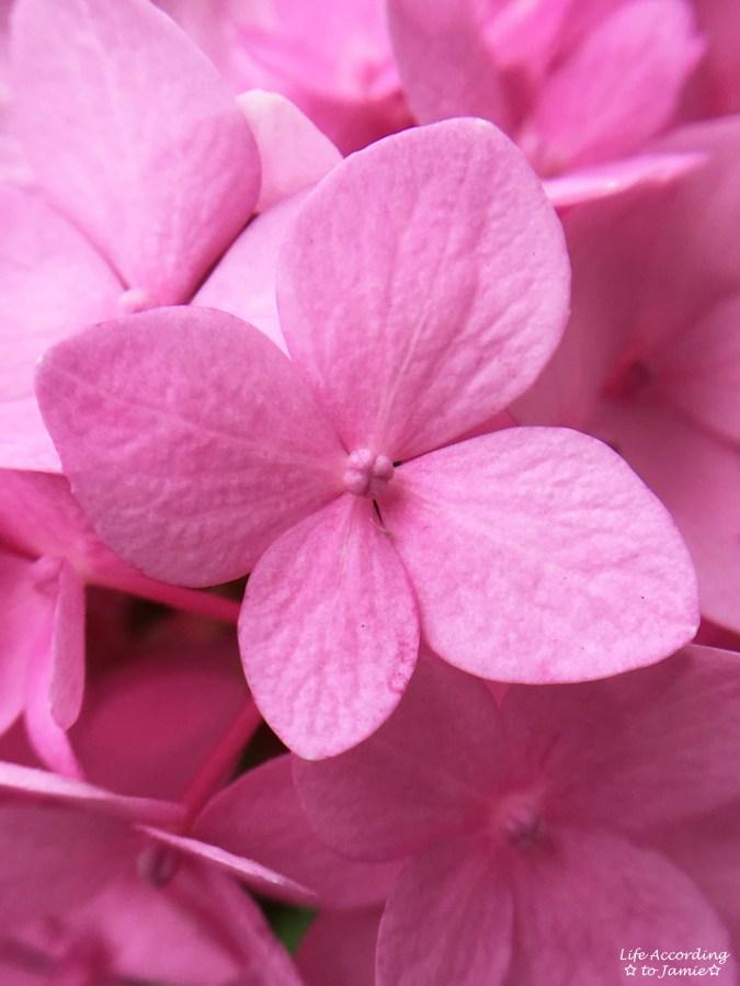 Pink Hydrangea - Petals