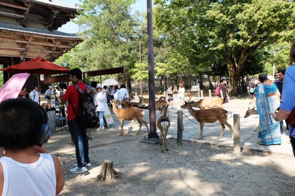 Todai-ji Temple - Deer