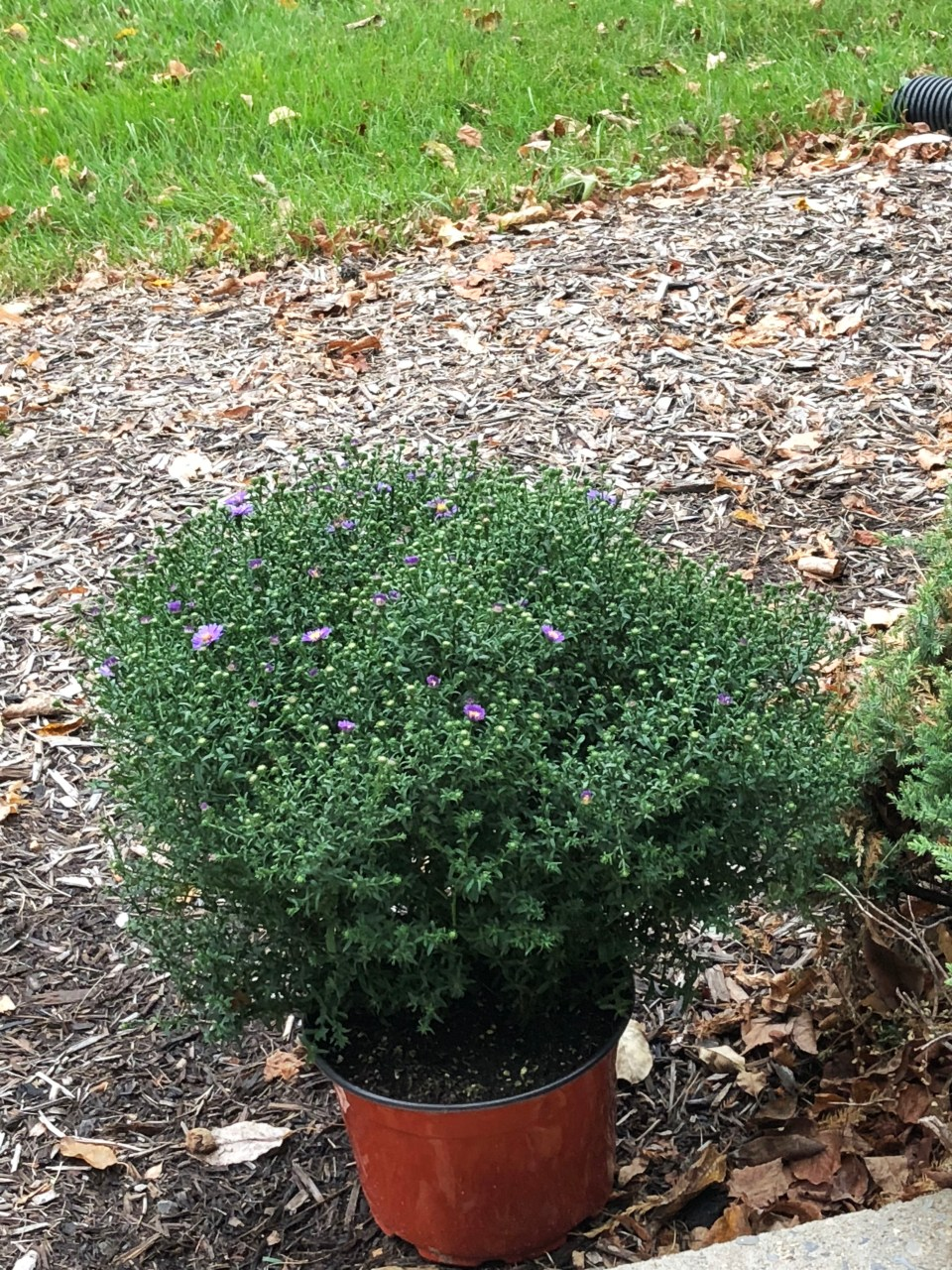Aster Plant 1
