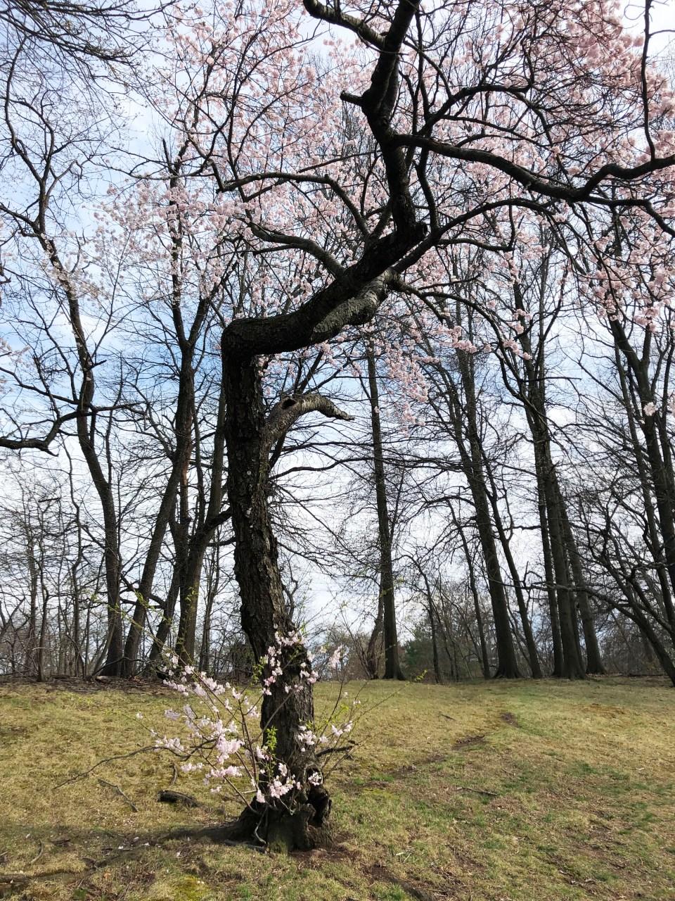 Branch Brook Park - Cherry Blossom Festival 12
